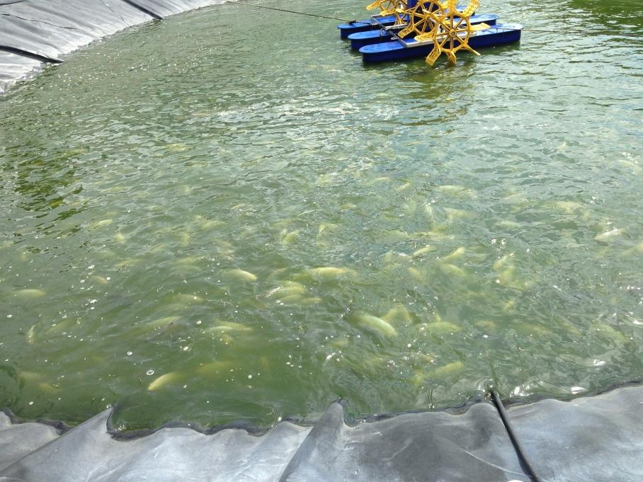 Tilapia fish farm _ PIH runs